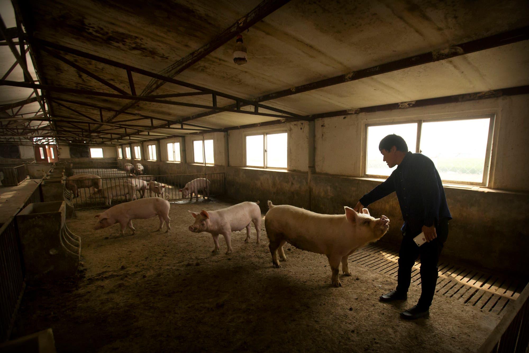 China: crece el porcentaje de hembras porcinas