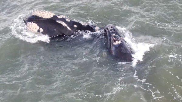 video:-el-show-de-las-ballenas-franca-austral-muy-cerca-de-la-costa-en-punta-del-este