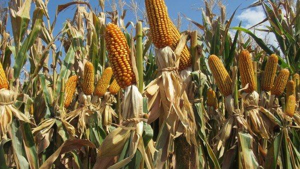 """ni-""""cepo""""-ni-""""limitacion""""-a-las-exportaciones-de-maiz:-cual-es-el-argumento-con-el-que-justifican-la-medida"""